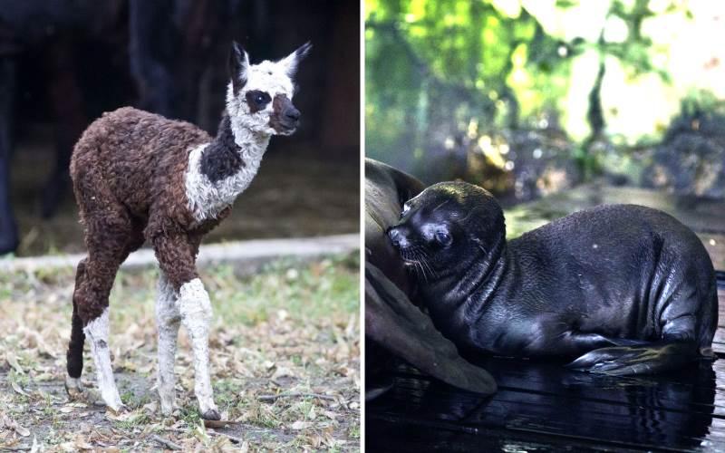 Dvije ljupke prinove u Zoo vrtu, u obiteljima alpaka i morskih lavova