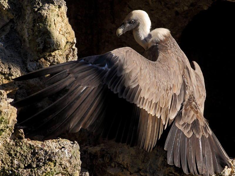 SUBOTA U ZOO-u: Upoznajte bjeloglavog supa, jedinu vrstu ptica strvinara koja živi u Hrvatskoj