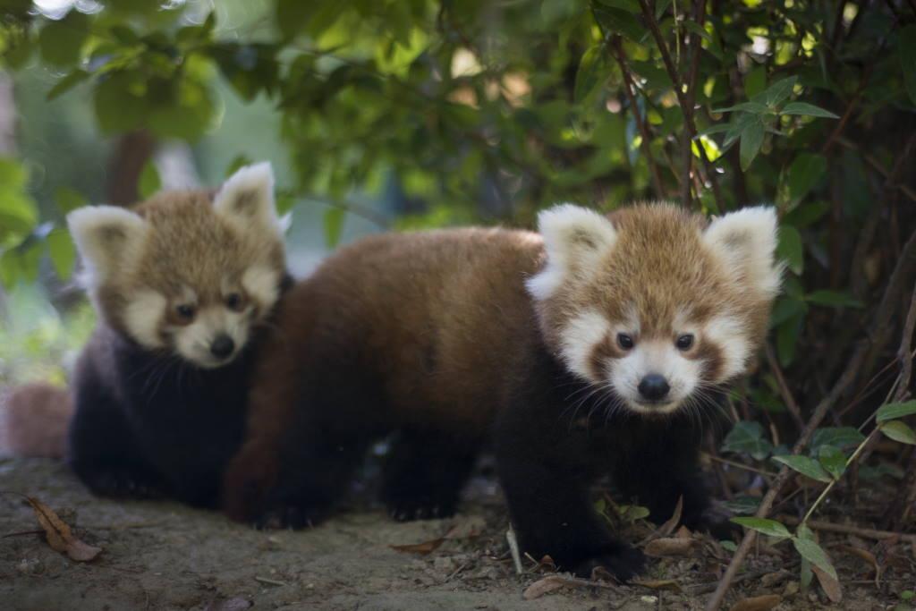 UKLJUČITE SE: Traže se imena za najslađe blizance u povijesti Zoološkog vrta