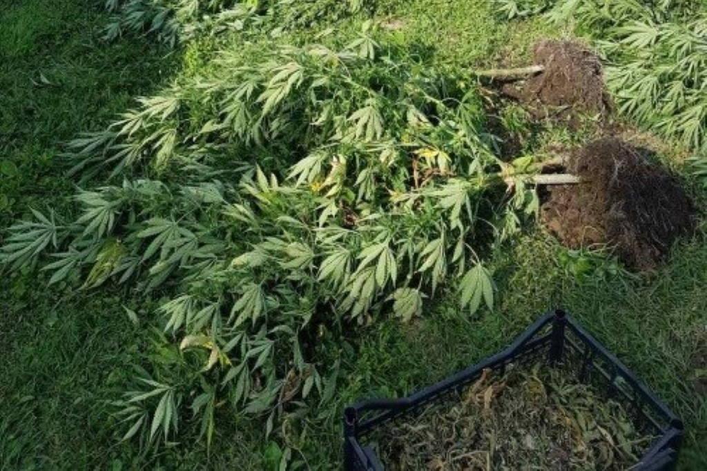 Kod Ivanić-Grada podigao plastenik za uzgoj marihuane, već je objavio prvu berbu