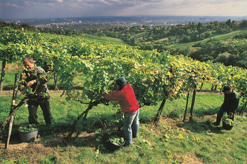 Beč je jedina metropola u svijetu u kojoj postoji ekonomski značajno vinogradarstvo