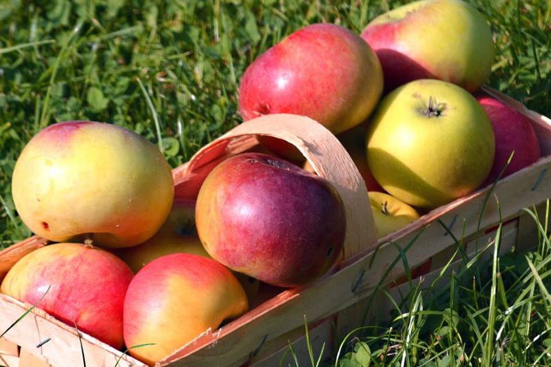 TRADICIONALNE VOĆNE VRSTE: Jedna sorta jabuke sa čak 25 naziva! Imate li je u svom dvorištu?