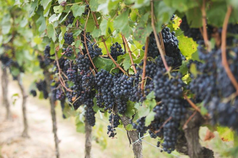 Kako će klimatske promjene utjecati na vinski sektor? Hoćemo li ostati bez tradicionalnih sorti?